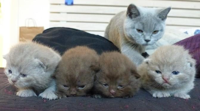 Kattungar två veckor gamla