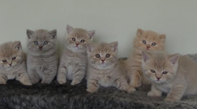 Kattungar till salu